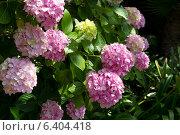 Купить «Цветы Гортензии розовой», фото № 6404418, снято 28 июня 2012 г. (c) Андрей Рыбачук / Фотобанк Лори