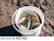Пойманная рыба в ведре. Стоковое фото, фотограф Зименков Юрий / Фотобанк Лори