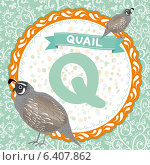 Детский английский алфавит с животными. Q - перепел (quail) Стоковая иллюстрация, иллюстратор Екатерина Перевалова / Фотобанк Лори