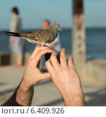 Купить «Person photographing with pigeon perching on his fingers, Waikiki, Honolulu, Oahu, Hawaii, USA», фото № 6409926, снято 4 февраля 2013 г. (c) Ingram Publishing / Фотобанк Лори