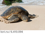 Купить «Sea turtle on the beach, Laniakea Beach, Haleiwa, North Shore, Oahu, Hawaii, USA», фото № 6410094, снято 7 февраля 2013 г. (c) Ingram Publishing / Фотобанк Лори