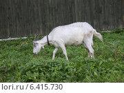 Купить «Коза в ошейнике», фото № 6415730, снято 21 августа 2014 г. (c) Ольга Лерх Olga Lerkh / Фотобанк Лори