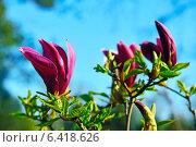 Купить «Магнолия лилиецветная (лат. Magnolia liliiflora)», фото № 6418626, снято 21 января 2014 г. (c) Сергей Трофименко / Фотобанк Лори