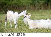 Купить «Маленький козленок шепчет на ухо своей маме», фото № 6425598, снято 18 августа 2014 г. (c) Pukhov K / Фотобанк Лори
