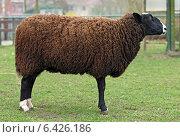 Овца. Стоковое фото, фотограф vansant natalia / Фотобанк Лори