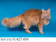 Кот породы Мейн-кун. Стоковое фото, фотограф Дмитрий Кислицын / Фотобанк Лори