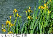 Купить «Желтые ирисы», фото № 6427918, снято 19 мая 2013 г. (c) Сурикова Ирина / Фотобанк Лори