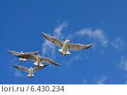 Купить «Чайки в полёте», фото № 6430234, снято 21 января 2014 г. (c) Сергей Трофименко / Фотобанк Лори