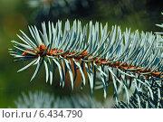 Купить «Веточка голубой ели (лат. Picea pungens)», фото № 6434790, снято 21 января 2014 г. (c) Сергей Трофименко / Фотобанк Лори
