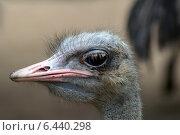 Голова страуса. Стоковое фото, фотограф Nikolay Grachev / Фотобанк Лори
