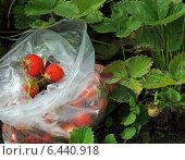 Купить «Урожай клубники», фото № 6440918, снято 4 августа 2014 г. (c) Wanda / Фотобанк Лори