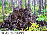 Корень дерева. Стоковое фото, фотограф СергейДорогов / Фотобанк Лори