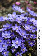 Купить «Печёночница цветёт в весеннем лесу», фото № 6452090, снято 19 апреля 2014 г. (c) Ирина Садовская / Фотобанк Лори