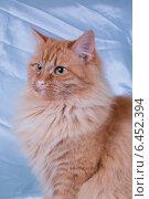 Рыжая кошка на серебристом фоне. Стоковое фото, фотограф Анна Дорофеенко / Фотобанк Лори