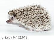 Купить «Еж белобрюхий, Atelerix albiventris, African pygmy hedgehog», фото № 6452618, снято 27 сентября 2014 г. (c) Василий Вишневский / Фотобанк Лори