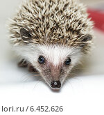 Купить «Еж белобрюхий, Atelerix albiventris, African pygmy hedgehog», фото № 6452626, снято 27 сентября 2014 г. (c) Василий Вишневский / Фотобанк Лори