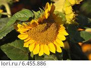 Купить «Подсолнечник (Helianthus annuus L.) осенью», эксклюзивное фото № 6455886, снято 20 сентября 2014 г. (c) lana1501 / Фотобанк Лори
