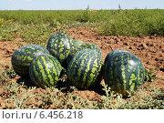 Купить «Арбузы на поле. Урожай», эксклюзивное фото № 6456218, снято 6 сентября 2014 г. (c) Volgograd.travel / Фотобанк Лори