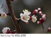 Абрикос цветущий. Стоковое фото, фотограф Roman.melnikeysk / Фотобанк Лори