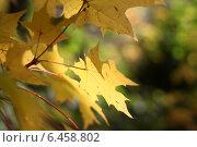 Желтые кленовые листья на ветке. Стоковое фото, фотограф Татьяна Потехина / Фотобанк Лори