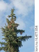 Купить «Шишки на верхушке   ели», эксклюзивное фото № 6477054, снято 27 сентября 2014 г. (c) Svet / Фотобанк Лори