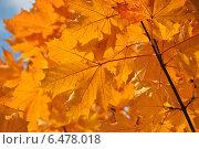 Купить «Листочки клена осенью», эксклюзивное фото № 6478018, снято 30 сентября 2014 г. (c) lana1501 / Фотобанк Лори