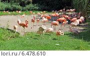 Розовые фламинго в пражском зоопарке (2014 год). Стоковое фото, фотограф Дмитрий Богословский / Фотобанк Лори