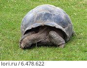 Черепаха в пражском зоопарке (2014 год). Стоковое фото, фотограф Дмитрий Богословский / Фотобанк Лори