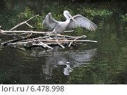 Купить «Пеликан на пруду машет крыльями», эксклюзивное фото № 6478998, снято 28 августа 2014 г. (c) lana1501 / Фотобанк Лори