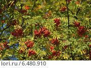 Купить «Красная рябина осенью», эксклюзивное фото № 6480910, снято 18 сентября 2014 г. (c) lana1501 / Фотобанк Лори
