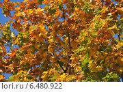 Купить «Красивый яркий фон из желтых и зеленых листочков клена на фоне неба голубого», эксклюзивное фото № 6480922, снято 18 сентября 2014 г. (c) lana1501 / Фотобанк Лори