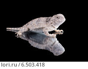 Купить «Жабовидная ящерица плоскорогая (Phrynosoma platyrhinos) изолировано на черном фоне», фото № 6503418, снято 4 октября 2014 г. (c) Ирина Кожемякина / Фотобанк Лори