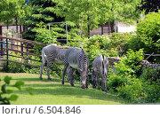 Зебры. Стоковое фото, фотограф Чулпан Нигметзянова / Фотобанк Лори