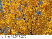 Осеннее дерево с желтыми листьями на фоне голубого неба. Стоковое фото, фотограф VahanN / Фотобанк Лори