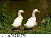 Утки на озере. Стоковое фото, фотограф Венера Бенько / Фотобанк Лори