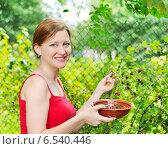Купить «Девушка собирает ягоды в саду», фото № 6540446, снято 3 августа 2014 г. (c) Литова Наталья / Фотобанк Лори
