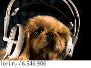 Портрет собаки пекинеса в больших наушниках. Стоковое фото, фотограф Екатерина Казанцева / Фотобанк Лори