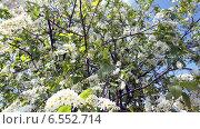 Черёмуха. Стоковое фото, фотограф Сергей Немшилов / Фотобанк Лори