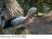 Пеликан в зоопарке. Стоковое фото, фотограф Анастасия Улитко / Фотобанк Лори