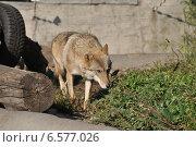 Купить «Европейский волк в Московском зоопарке», эксклюзивное фото № 6577026, снято 28 сентября 2014 г. (c) lana1501 / Фотобанк Лори