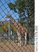 Купить «Сетчатый жираф в Московском зоопарке», эксклюзивное фото № 6578430, снято 28 сентября 2014 г. (c) lana1501 / Фотобанк Лори