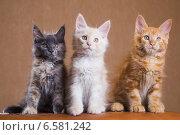 Купить «Три котенка породы мейн-кун», фото № 6581242, снято 5 августа 2014 г. (c) Gagara / Фотобанк Лори