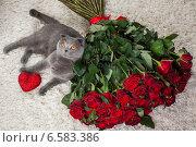 Купить «Красивый британский кот и много красных роз», фото № 6583386, снято 16 января 2019 г. (c) Останина Екатерина / Фотобанк Лори