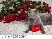 Купить «Красивый британский кот и много красных роз», фото № 6583394, снято 16 января 2019 г. (c) Останина Екатерина / Фотобанк Лори