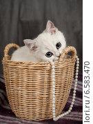 Купить «Британский котенок белого цвета», фото № 6583470, снято 16 января 2019 г. (c) Останина Екатерина / Фотобанк Лори