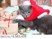 Купить «Красивый британский кот в новогоднем колпаке», фото № 6583478, снято 8 декабря 2012 г. (c) Останина Екатерина / Фотобанк Лори