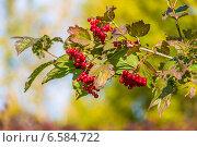 Купить «Ягоды красной калины на ветке», фото № 6584722, снято 7 сентября 2014 г. (c) Ольга Сейфутдинова / Фотобанк Лори
