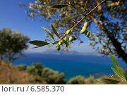 Зеленые оливки созревают на морском побережье, эксклюзивное фото № 6585370, снято 11 октября 2014 г. (c) Яна Королёва / Фотобанк Лори