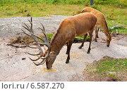 Купить «Благородный олень (Cervus elaphus). Подкормка диких животных в лесу. Самец и самка», фото № 6587270, снято 21 августа 2014 г. (c) Валерия Попова / Фотобанк Лори