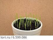 Трава для кошек. Стоковое фото, фотограф рустам ниязов / Фотобанк Лори
